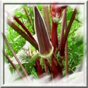 okra-rouge-www-graines-de-bambous-fr-www-grainesdebambous-com.jpg