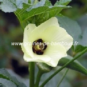 okra-vert-fleur-www-graines-de-bambous-fr.jpg