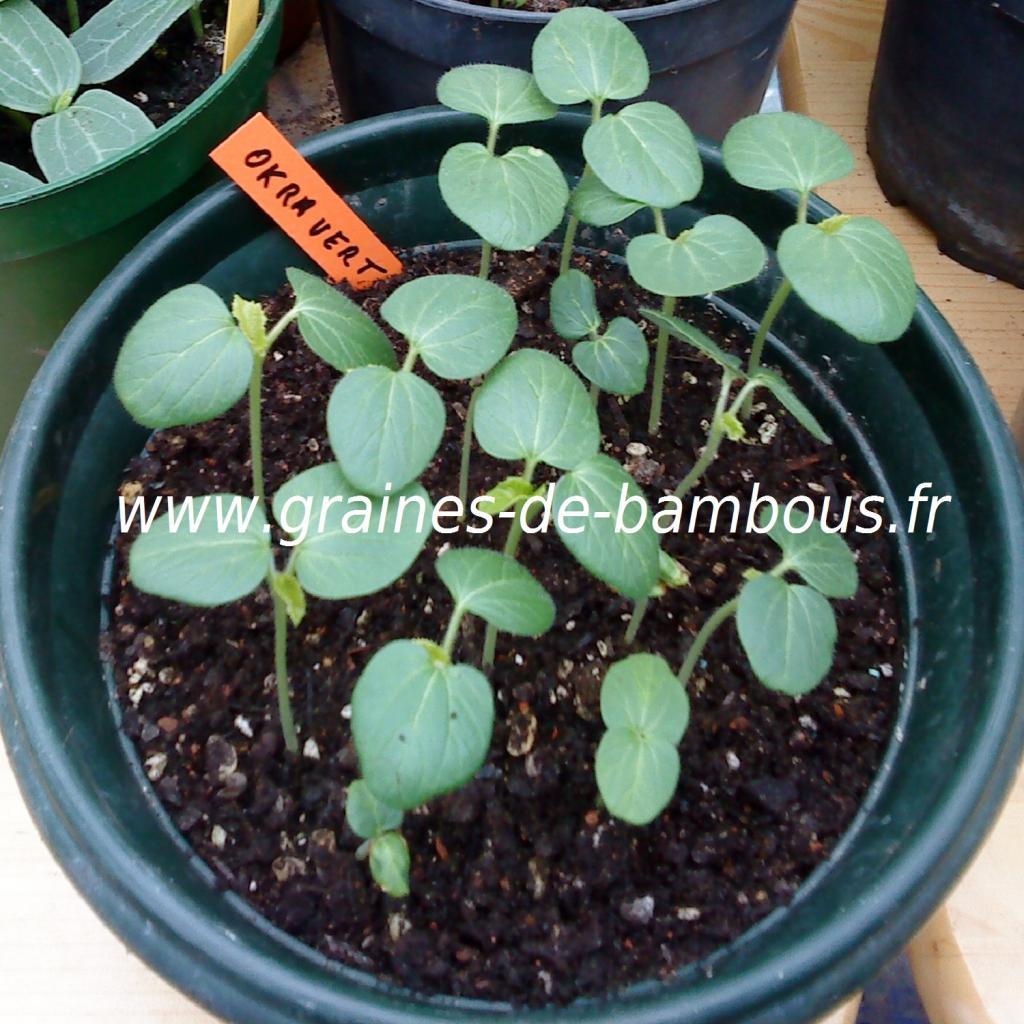 okra-vert-semis-www-graines-de-bambous-fr.jpg