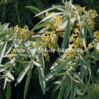 olivier-de-boheme-elaeagnus-angustifolia-www-graines-de-bambous-fr.jpg