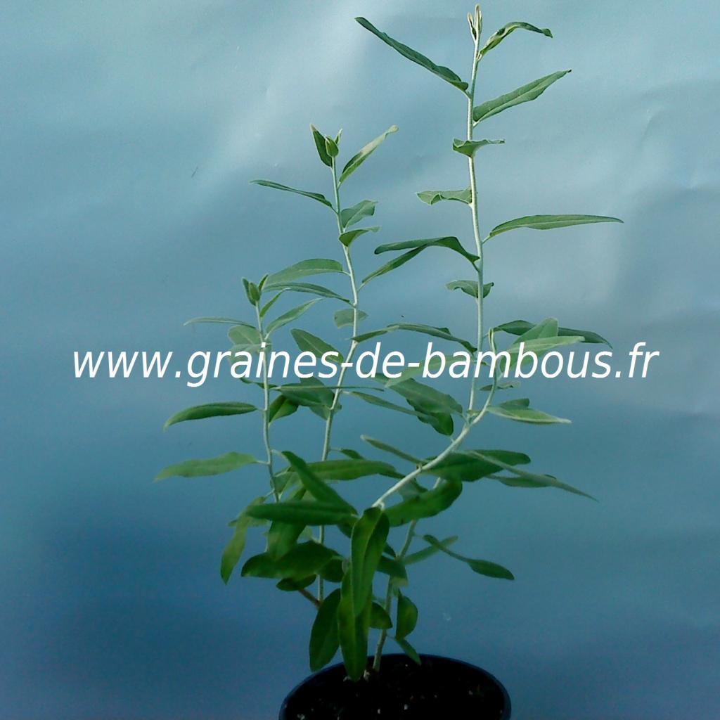 olivier-de-boheme-eleagnus-augustifolia-petit-plant-www-graines-de-bambous-fr.jpg