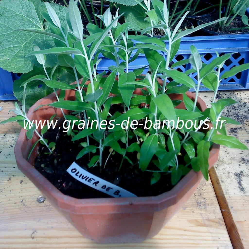 olivier-de-boheme-semis-www-graines-de-bambous-fr.jpg