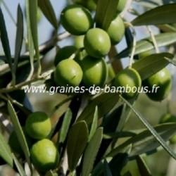 Olivier graines de bambous fr