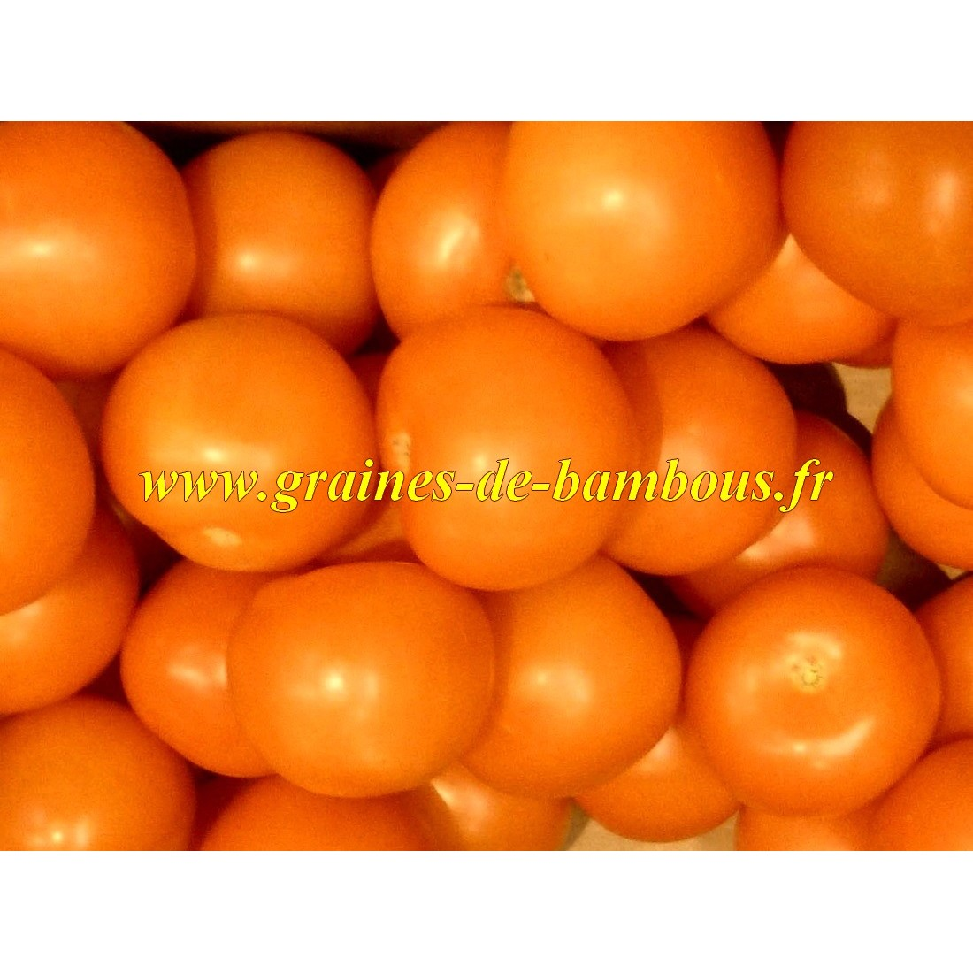 Orange queen graines de tomate