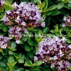 Origan vivace origanum vulgare graines de bambous fr