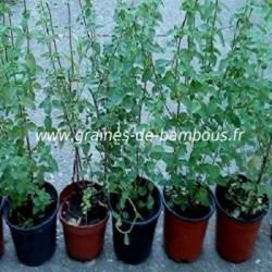 Origan vivace origanum vulgare www graines de bambous fr 350 x 350 copie