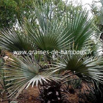 Palmier brahea armata graines