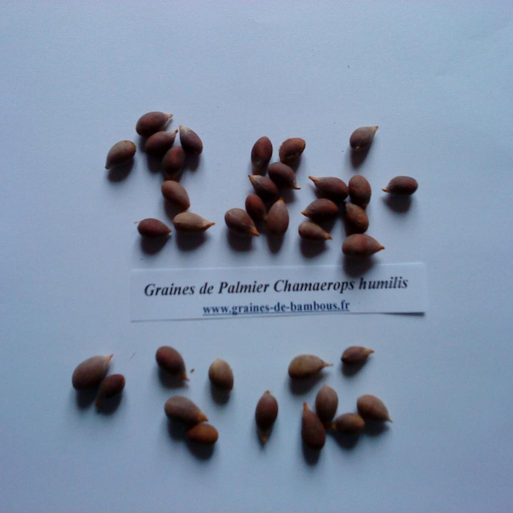 palmier-chamaerops-humilis-www-graines-de-bambous-fr-1.jpg