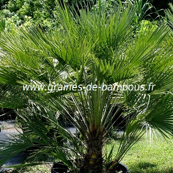 graines de chamaerops humilis ou faux palmier doum. Black Bedroom Furniture Sets. Home Design Ideas