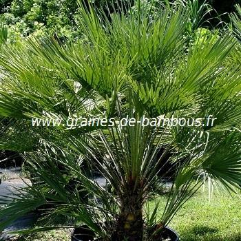 Palmier nain Chamaerops humilis réf.436