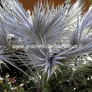 Palmier nannorrhops arabica silver