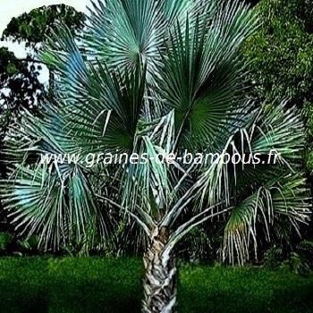 palmier-nannorrhops-ritchieana-www-graines-de-bambous-fr.jpg