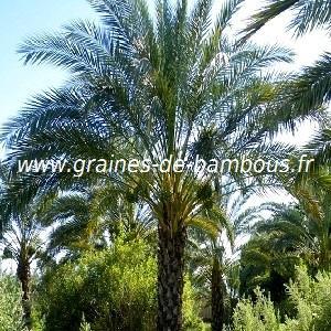 Palmier Phoenix dactylifera ou Palmier dattier réf.435