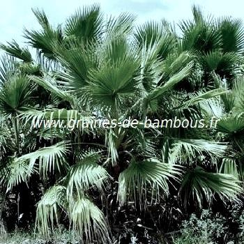 Palmier Sabal bermudana réf.528