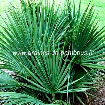 palmier-sabal-minor-www-graines-de-bambous-fr-1.jpg