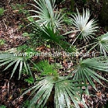 palmier-sabal-minor-www-graines-de-bambous-fr.jpg