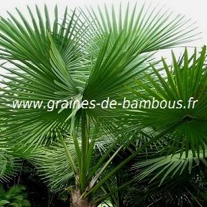palmier-sabal-palmetto-www-graines-de-bambous-fr.jpg