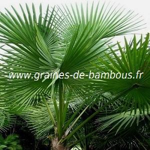 Palmier Sabal palmetto réf.405