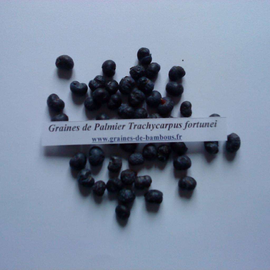 palmier-trachycarpus-fortunei-graines-www-graines-de-bambous-fr.jpg