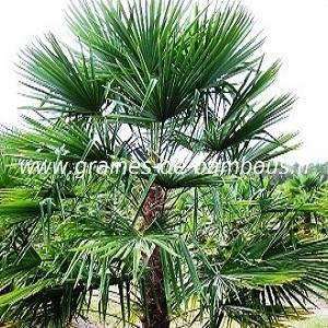 Palmier Trachycarpus fortunei réf.119