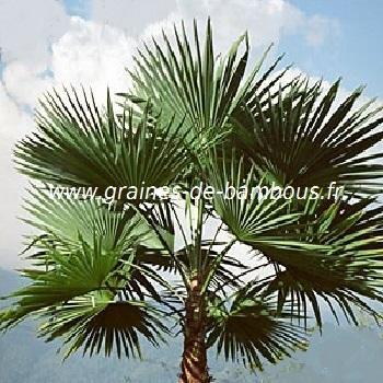 Palmier Trachycarpus latisectus réf.526