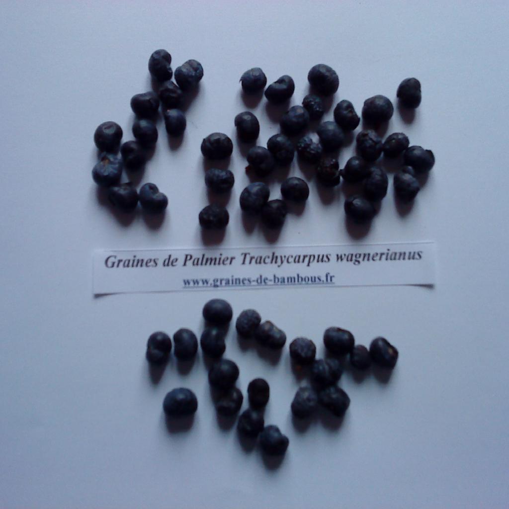 palmier-trachycarpus-wagnerianus-graines-www-graines-de-bambous-fr.jpg