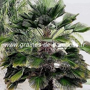 Palmier Trachycarpus wagnerianus réf.122