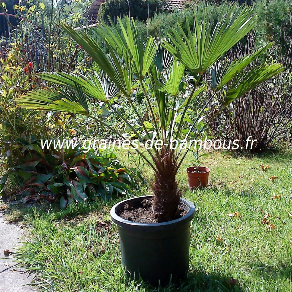 palmier-trachycarpus-wagnerianus-www-graines-de-bambous-fr.jpg