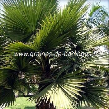 Palmier Washingtonia filifera réf.529