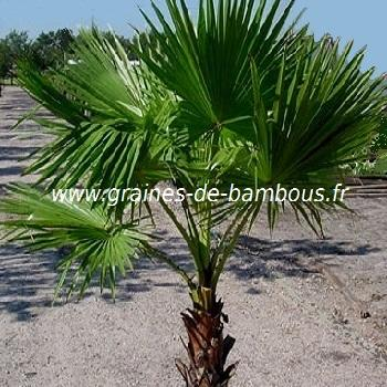 Palmier Washingtonia robusta réf.530