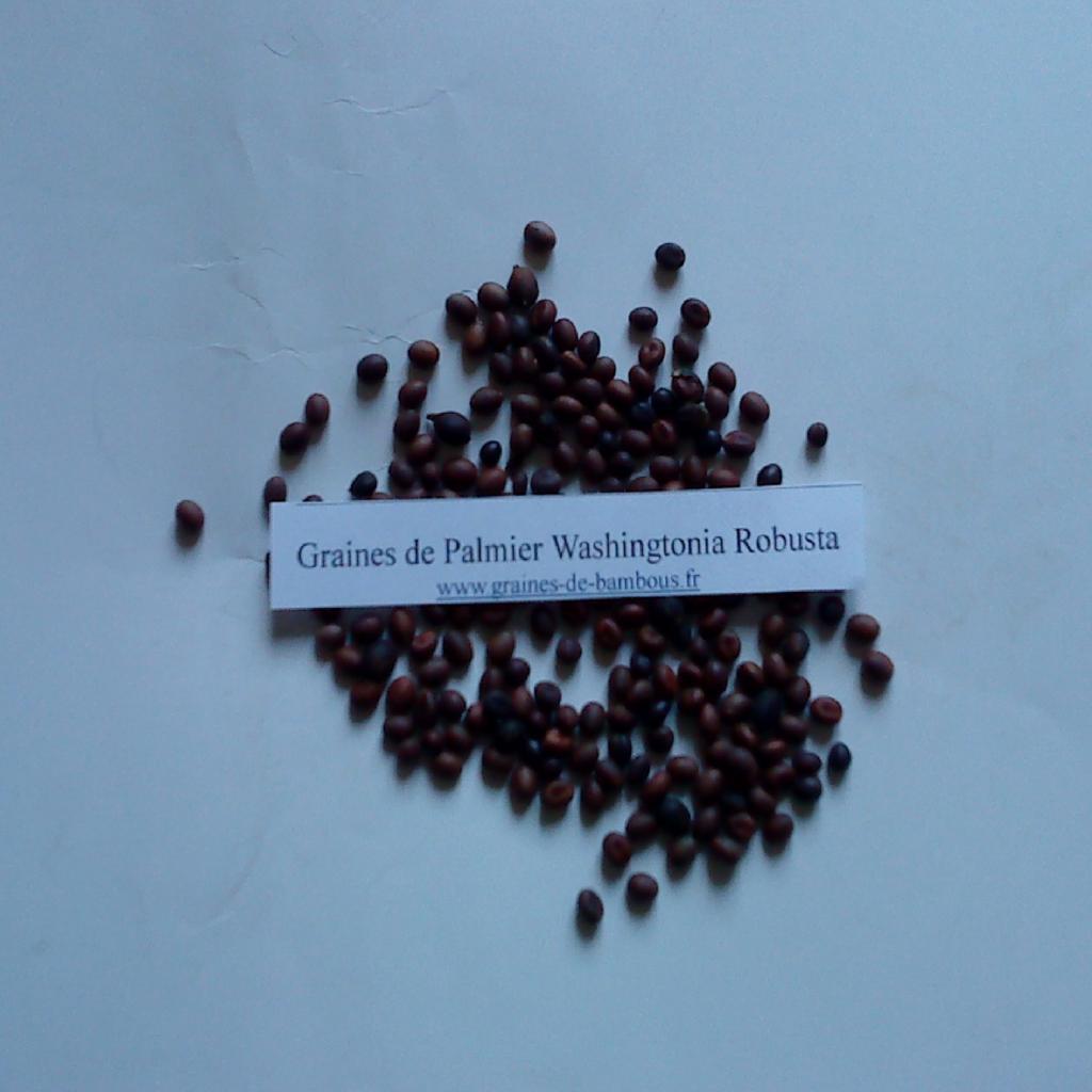palmier-washingtonia-robusta-www-graines-de-bambous-fr.jpg