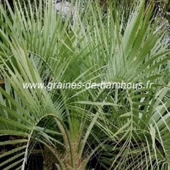 Palmier Butia eriospatha réf.691