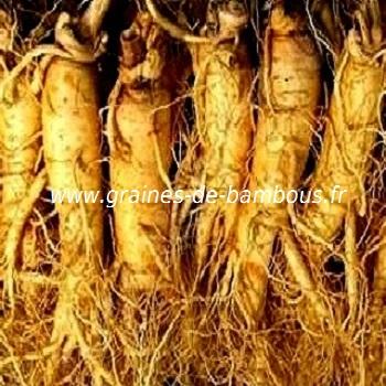 panax-ginseng-racines-www-graines-de-bambous-fr-1.jpg