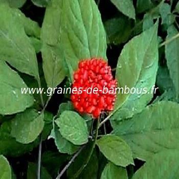 Ginseng rouge de Corée (Panax Ginseng) réf.401