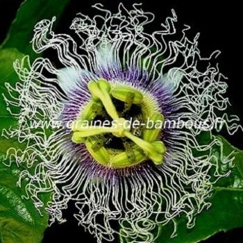 passiflore-edulis-forma-flavicarpa-fleur-www-graines-de-bambous-fr-1.jpg