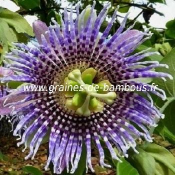 passiflore-ligularis-www-graines-de-bambous-fr.jpg