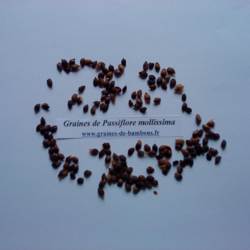 passiflore-mollissima-graines-www-graines-de-bambous-fr.jpg