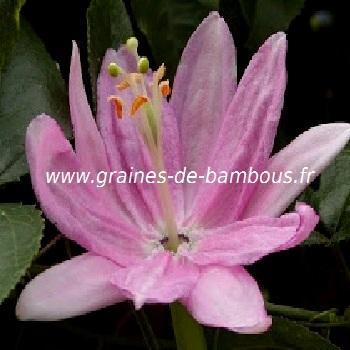 Passiflore Mollissima réf.434