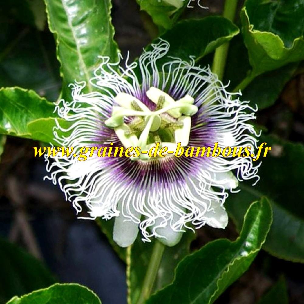 Passiflore pourpre geante fleur