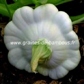 Patisson custard blanc graines de bambous fr
