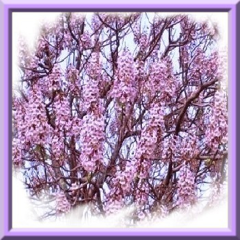 paulownia-fortunei-arbre-du-dragon-graines-de-bambous-fr-2.jpg