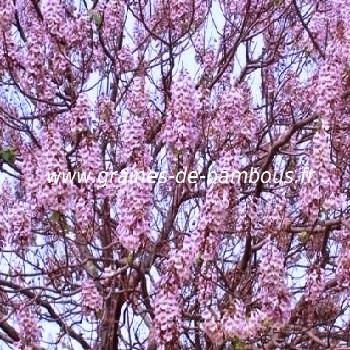 paulownia-fortunei-arbre-du-dragon-www-graines-de-bambous-fr-1.jpg