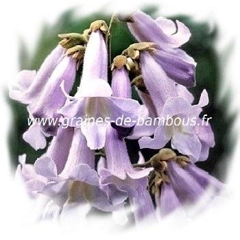 paulownia-fortunei-fleurs-www-graines-de-bambous-fr.jpg