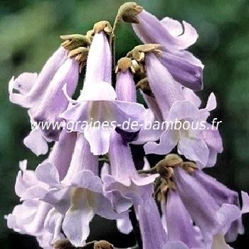 paulownia-fortunei-www-graines-de-bambous-fr.jpg