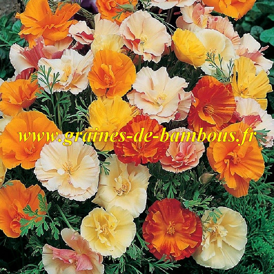 Pavot californica ballerine double
