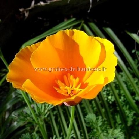 Pavot californica orange king