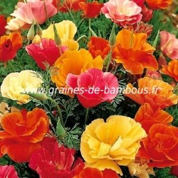 Pavot de californie ballerine a fleurs doubles
