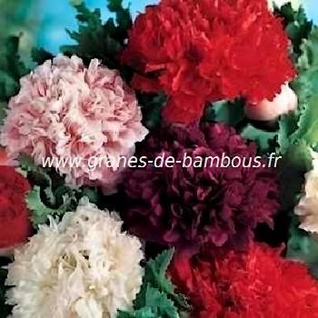 Pavot fleur de pivoine double varie