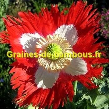 Pavot papaver graines de fleur