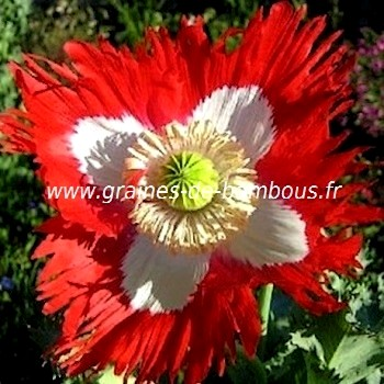 Pavot papaver somniferum graines semences